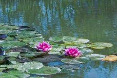 Waterlelies op een vijver Stock Afbeeldingen