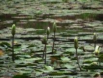 Waterlelies op een vijver Stock Afbeelding