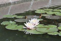 Waterlelies op een vijver Stock Fotografie