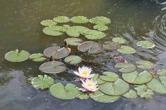 Waterlelies op een vijver Stock Foto