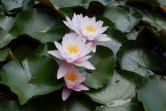 Waterlelies op het meer stock foto