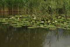 Waterlelies op Meer Stock Foto