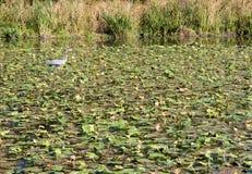 Waterlelies op meer Stock Afbeeldingen