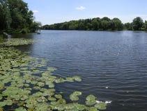 Waterlelies op rivier. Royalty-vrije Stock Fotografie