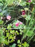 Waterlelies op water Royalty-vrije Stock Foto's