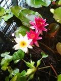 Waterlelies op water Royalty-vrije Stock Afbeeldingen