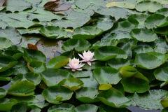 Waterlelies in Wuhan royalty-vrije stock afbeeldingen