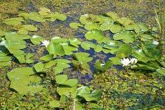 Waterlelies in Zasavica stock afbeelding
