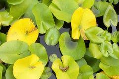 Waterleliesbladeren Royalty-vrije Stock Afbeeldingen