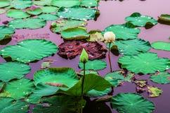 Waterleliesbloem in de vijver stock afbeelding