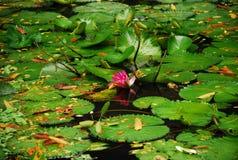 Waterleliesnymphaeaceae Royalty-vrije Stock Foto's