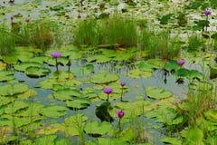 Waterleliestootkussens en bloemen op donker meer stock afbeelding