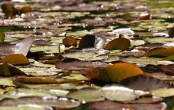 Waterleliestootkussens op een vijver in de Lentezonneschijn stock foto's