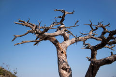 Waterless tree. Unusual waterless tree isolated on clear blue sky Royalty Free Stock Images