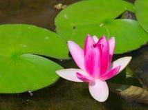 Waterlilia-Blume Stockbild
