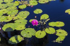 Waterlilies在一个植物园里,在那不勒斯,佛罗里达,美国 库存图片