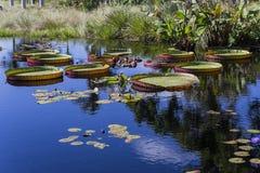 Waterlilies在一个植物园里,在那不勒斯,佛罗里达,美国 图库摄影