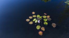 Waterlilies在一个植物园里,在那不勒斯,佛罗里达,美国 库存照片