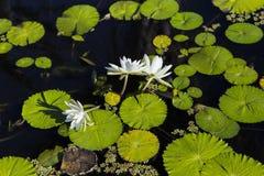 Waterlilies在一个植物园里,在那不勒斯,佛罗里达,美国 免版税库存图片