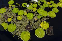 Waterlilies在一个植物园里,在那不勒斯,佛罗里达,美国 免版税库存照片