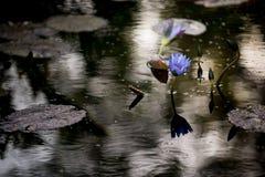 Waterlilies在南佛罗里达 免版税库存图片