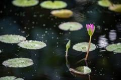 Waterlilies在南佛罗里达 免版税库存照片