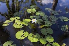Waterlilies σε έναν βοτανικό κήπο, στη Νάπολη, Φλώριδα, ΗΠΑ Στοκ φωτογραφία με δικαίωμα ελεύθερης χρήσης