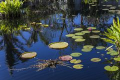 Waterlilies σε έναν βοτανικό κήπο, στη Νάπολη, Φλώριδα, ΗΠΑ Στοκ εικόνες με δικαίωμα ελεύθερης χρήσης