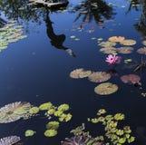 Waterlilies σε έναν βοτανικό κήπο, στη Νάπολη, Φλώριδα, ΗΠΑ Στοκ Εικόνα