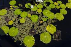 Waterlilies σε έναν βοτανικό κήπο, στη Νάπολη, Φλώριδα, ΗΠΑ Στοκ φωτογραφίες με δικαίωμα ελεύθερης χρήσης
