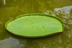 Waterlilies Виктории Стоковые Фото