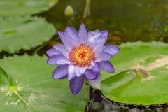 Waterlilies лилий воды Nymphaea Стоковая Фотография
