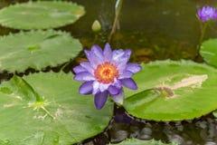 Waterlilies лилий воды Nymphaea Стоковые Фото