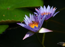 waterlilies пчелы Стоковое Изображение RF