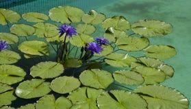 waterlilies Lizenzfreie Stockfotos