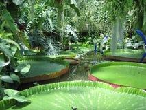 大waterlilies 库存图片