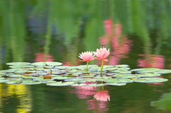 Waterlilies Royalty Free Stock Photography