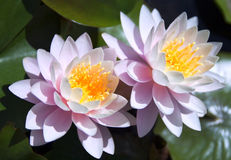 Waterlilies Stock Images