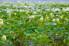 Waterlilies Royalty Free Stock Images