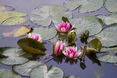 Waterlilies. Growing in a garden pond Stock Photo