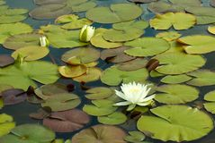 waterlilies obraz stock