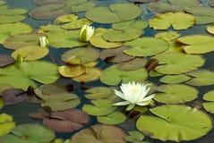 Waterlilies Stock Image