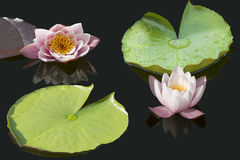 Waterlilies Imagem de Stock Royalty Free