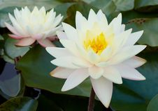 waterlilies Obrazy Royalty Free