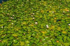 waterlilies Immagini Stock Libere da Diritti