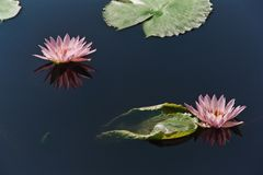 Waterlilies Stockfotos