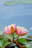 Waterlilies Royalty Free Stock Photos