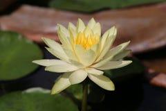 waterlilies Royalty-vrije Stock Afbeeldingen