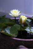 waterlilies Immagine Stock