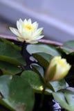 waterlilies Royalty-vrije Stock Foto's